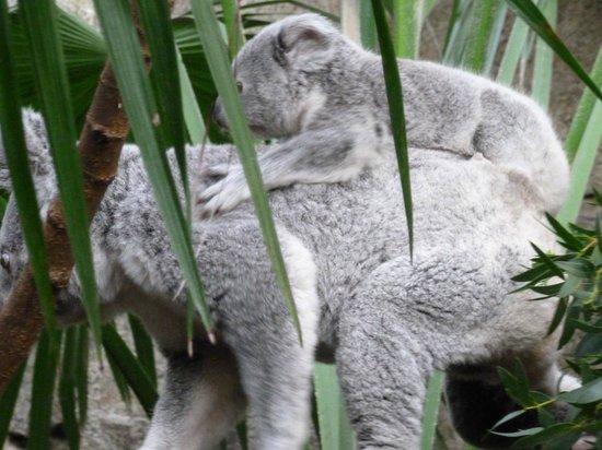 Edinburgh Zoo: Mum Koala with baby Joey