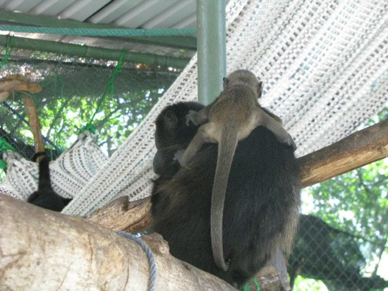 Nosara Wildlife Sanctuary at Sibu : A howler monkey and her baby