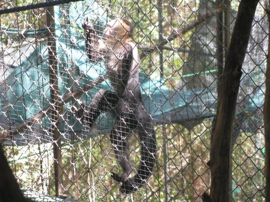 Nosara Wildlife Sanctuary at Sibu : Toby, a mischiveous Capuchin
