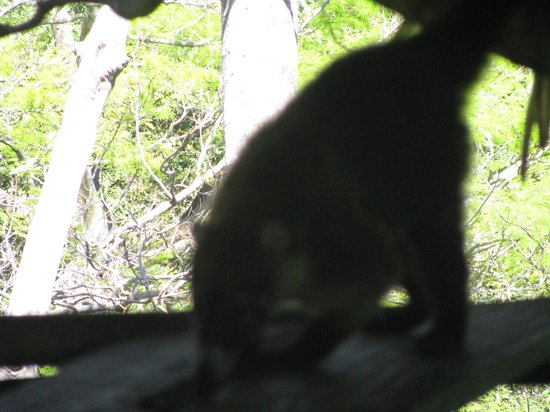 Nosara Wildlife Sanctuary at Sibu : A coatimundi