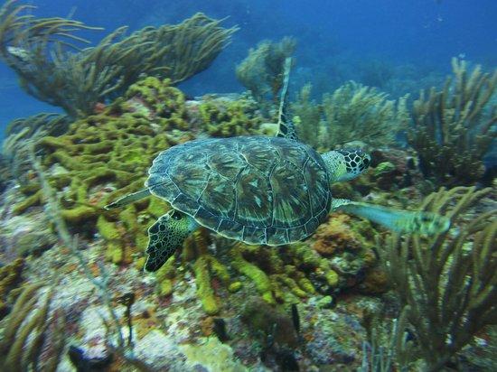 Dive Adventures : Green turtle