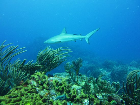 Dive Adventures: Reef shark