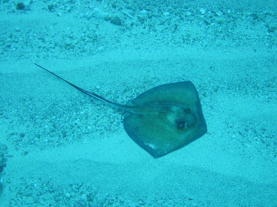 Dive Adventures: Baby Sting Ray