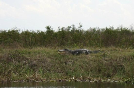 Airboat Wilderness Rides: One of the dozen alligators we saw