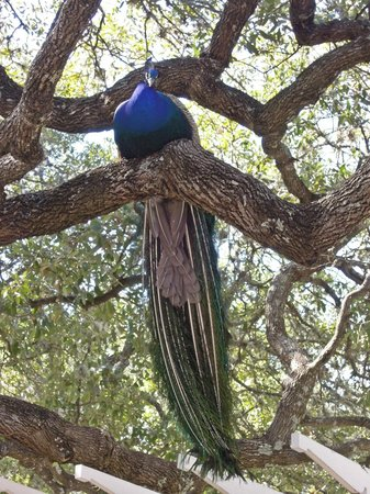 Mayfield Park Cottage and Gardens : Proud Peacock