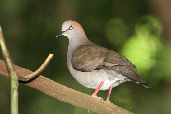 La Leona Eco Lodge: Gray-chested Dove