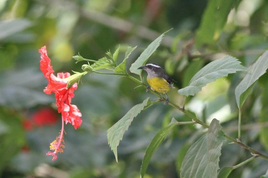 La Leona Eco Lodge: bananaquit