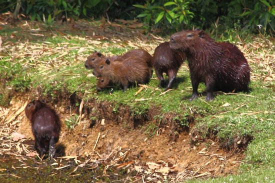 Gamboa Rainforest Resort: Capybaras on the lodge grounds, about 200 yards from the pool