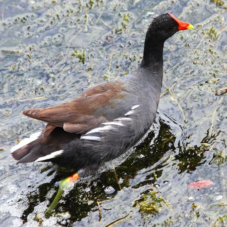 Gamboa Rainforest Resort: Common gallinule/moorhen as seen from Lagartos restaurant