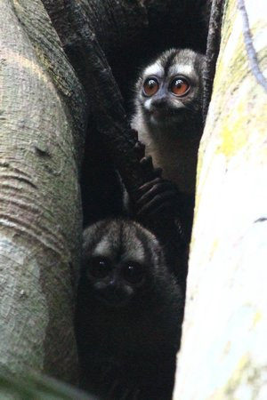 Gamboa Rainforest Resort: Night monkeys in a tree hole on the Chunga trail.