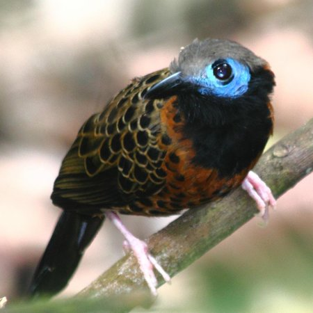 Gamboa Rainforest Resort : Ocellated antbird as seen on our guided tour of the Pipeline road