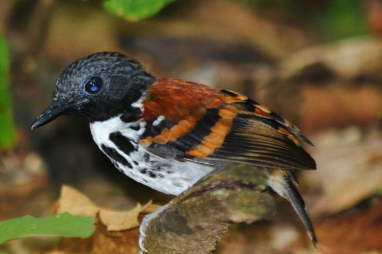 Gamboa Rainforest Resort : Spotted antbird as seen on our guided tour of the Pipeline road