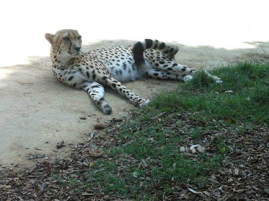 Auckland Zoo : Cheetah keeping an eye on everyone