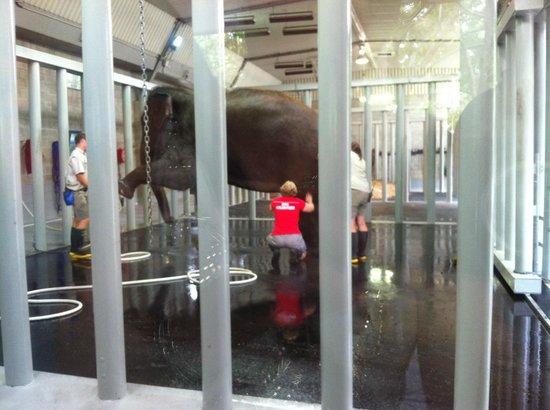 Auckland Zoo : Burma getting a scrub down