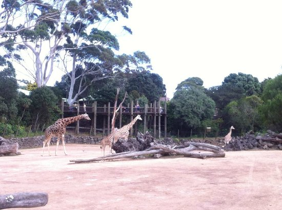 Auckland Zoo : Giraffes in Pridelands