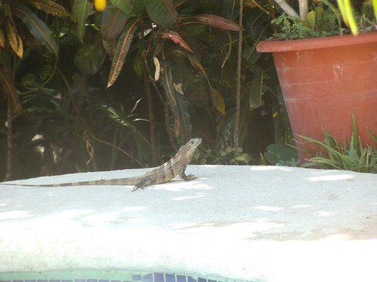 Hotel Belvedere - Playa Samara: kleiner leguan neben dem pool