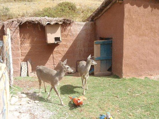 Santuario Animal de Cochahuasi: Venados