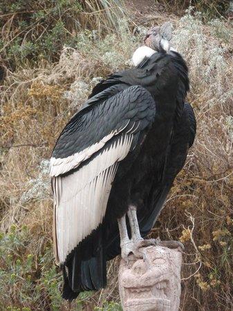 Santuario Animal de Cochahuasi: Cóndor rescatado