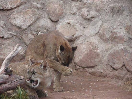 Santuario Animal de Cochahuasi: Pumas recuperados
