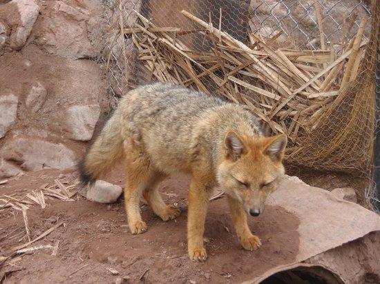 Santuario Animal de Cochahuasi: Zorro andino