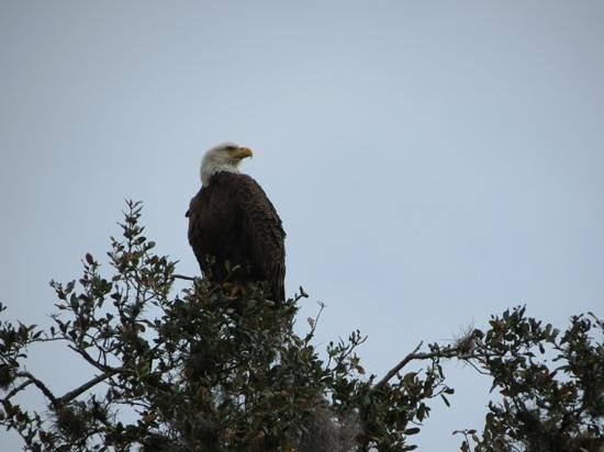 Central Florida Nature Adventures: Bald Eagle