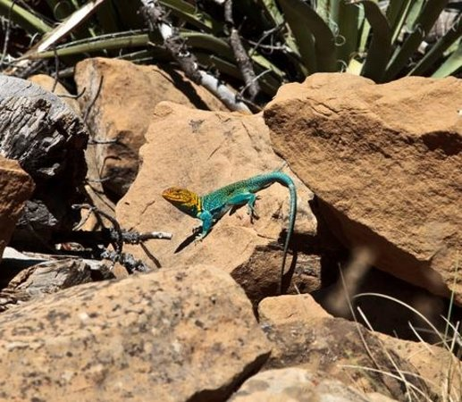 Colorado National Monument: Collared Lizard