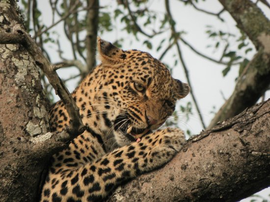 Nkorho Bush Lodge : Female leopard, her and her son were finishing their kill