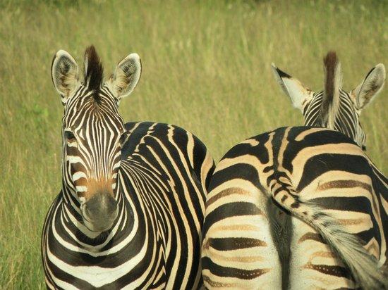 Nkorho Bush Lodge : Two Zebra near the landing strip