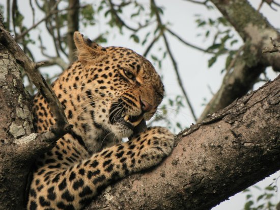Nkorho Bush Lodge: Female leopard