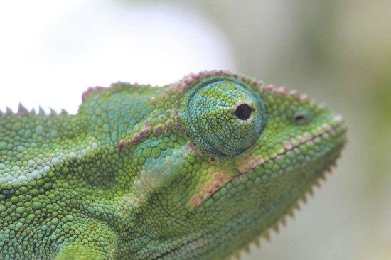 Silverback Lodge: Chameleon