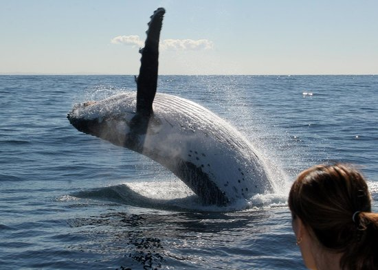 Spirit of Gold Coast Whale Watching : How close can you get...