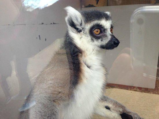 Beale Park: Ring Tailed Lemur