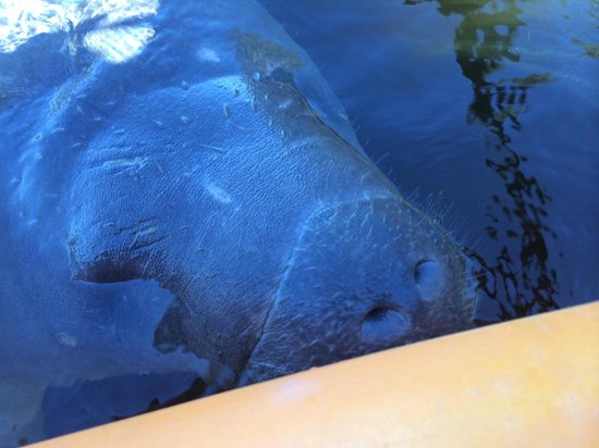 Central Florida Nature Adventures: Manatee, Up Close and Personal