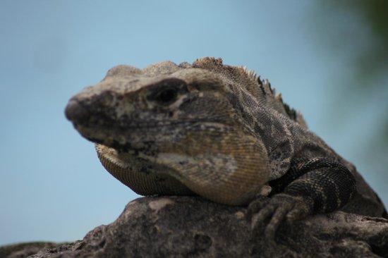 PavoReal Beach Resort Tulum: Iguane