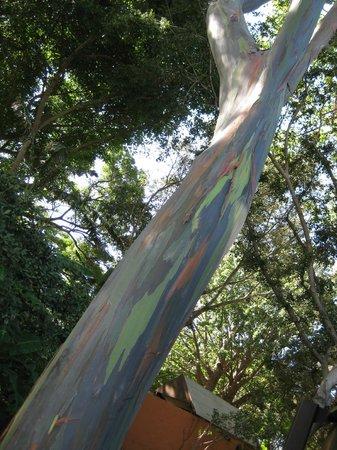 Honolulu Zoo: rainbow trunk tree