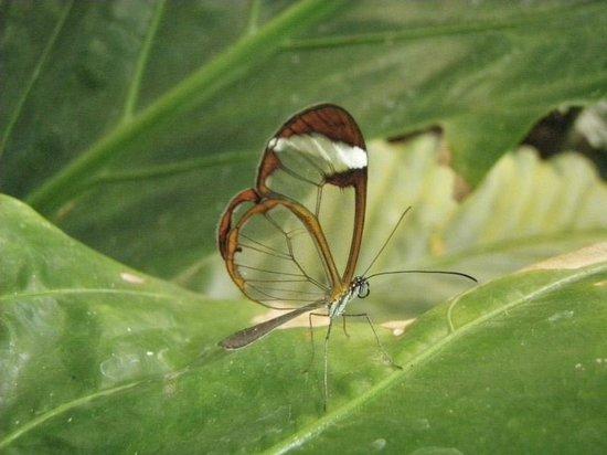 Monteverde Butterfly Garden (Jardin de Mariposas): Transparent butterfly
