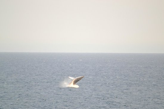 Club Regina Los Cabos : Whale seen from our balcony