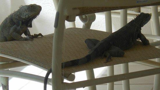 Marriott's Aruba Ocean Club: iguanas awaiting breakfast on our patio