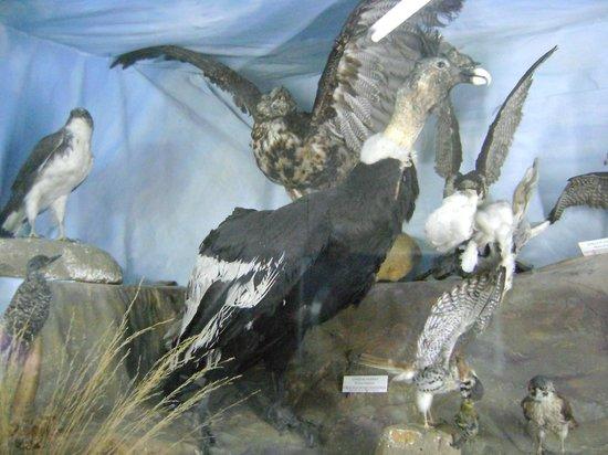 El Calafate Historical Interpretation Center: condor disecado