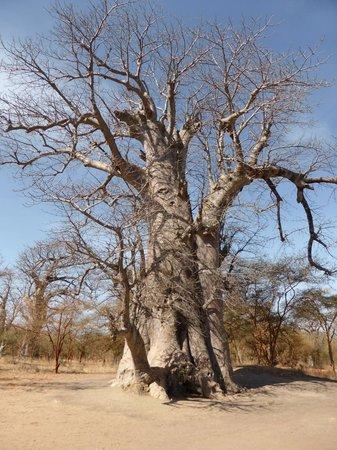 Reserve De Bandia: baobab tombeau