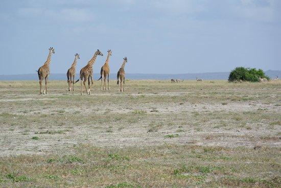 Tortilis Camp: Giraffes