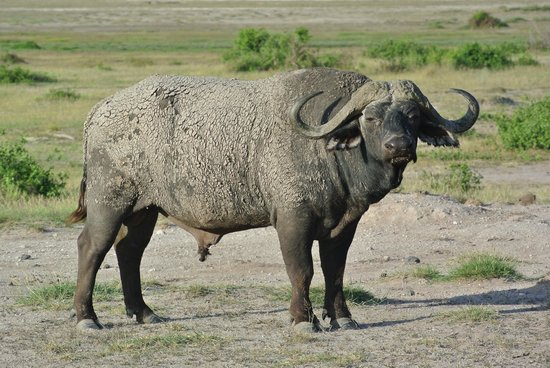 Tortilis Camp: Big bull Cape Buffalo