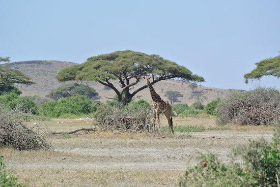 Tortilis Camp: Great pic with an acacia tree in the background