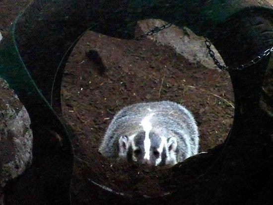 CuriOdyssey: Badger