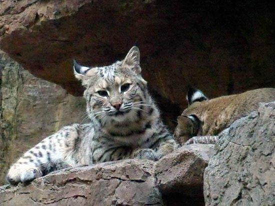 CuriOdyssey: Bobcat