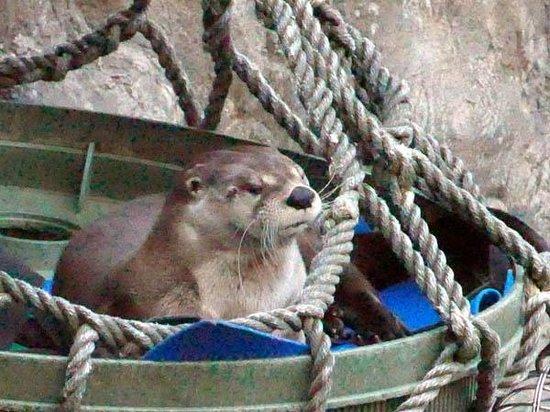 CuriOdyssey: Cute liver otter