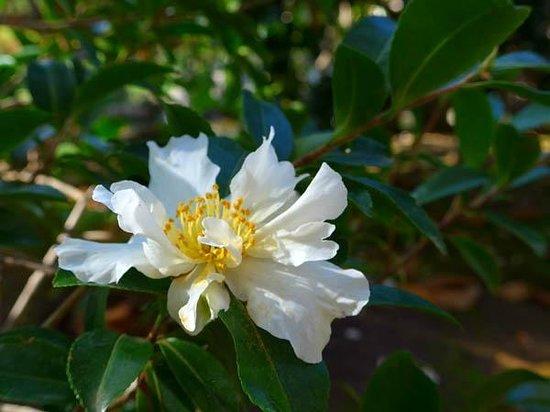 The San Mateo Japanese Garden: Camellia
