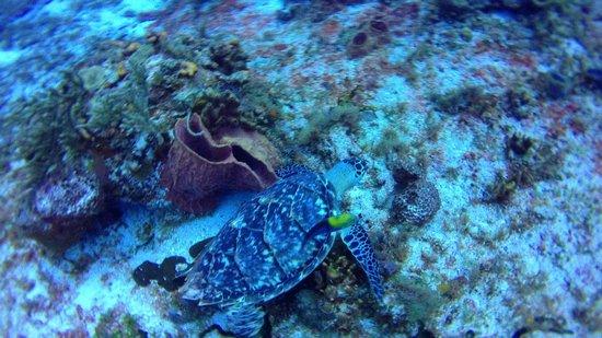 ScubaTony Cozumel: Turtle