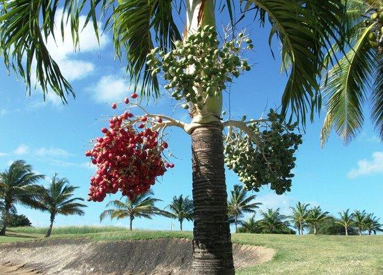 Barbados Golf Club: #12 obstacles