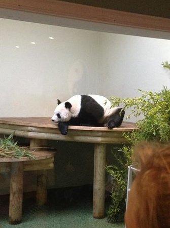 Edinburgh Zoo: sleepy panda